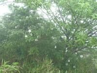 山頂近くで咲いていたサンショウバラ