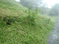 草刈りからヤマユリは残っていた